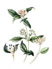 Viburnum tinus, Jackie Copeman, 2006