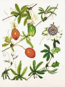 Passiflora caerulea, Lizabeth Leech, 2015