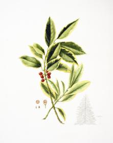 Ilex ataclerensis ' Belgica aurea',Gay Boyle, 2018