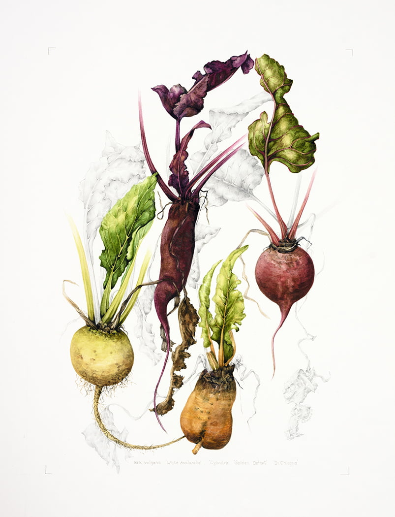 Beta vulgaris 'Golden Detroit', 'Cylindrica', 'Chioggia', 'Avalanche', Shirley Slocock,, 2018