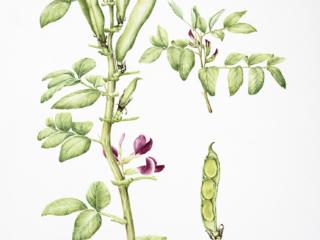 Vicia faba 'Crimson Flowered', Helen Cavalli, 2018