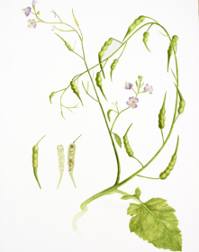 Raphanus caudatus 'Rat-tail', Sarah Lawrence, 2018