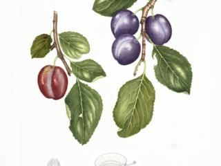 Prunus domestica 'Marjorie's Seedling', Shirley Richards, 2018