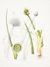 Allium fistulosum, Shirley Slocock, 2018