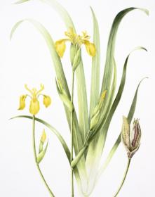 Iris pseudacorus, Helen radcliffe, 2018