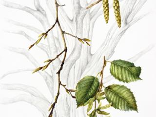 242,Carpinus betulus, Susan Conroy, 2018