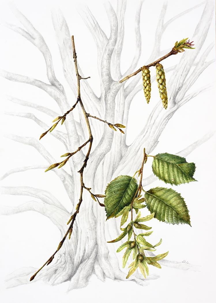 Carpinus betulus, Susan Conroy 2018