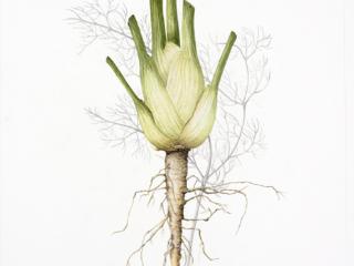 Foeniculum vulgare, Vicky Wilkinson, 2018