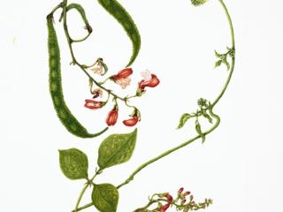 245, Phaseolus coccineus, 'Painted Lady', Lizabeth Leech, 2018