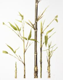 Phyllostachys nigra, Penny Price, 2018