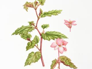 Begonia x 'Richmondensis', Carol Hartley, 2018