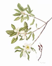 251,-Eucryphia-x-Nymansensis(cordifolia-x),-Gay-Boyle,-2019