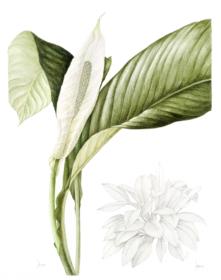Spathiphyllum-wallisii,Jackie-Copeman,2019