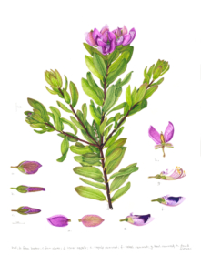 255,Polygala myrtifolia var. Grandiflora, Lizabeth Leech, 2019