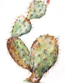 257,-Opuntia-phaeacantha,-Susan-Conroy,-2019