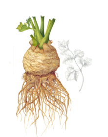 260,-Apium-graveolens-rapaceum-'Ibis',-Vicky-Wilkinson,-2019